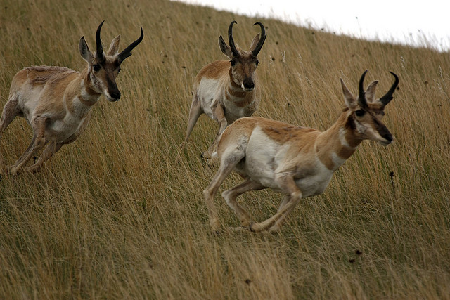 The Pronghorn – The American Almost Antelope | The Ark In ...