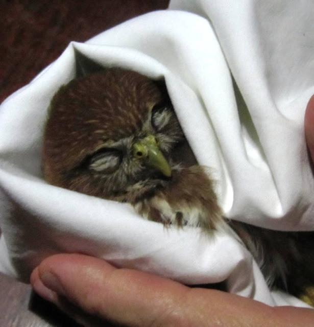 injured owl Nicaragua