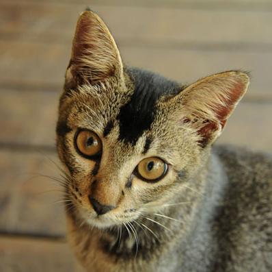 На изображении: британский кот Борнео