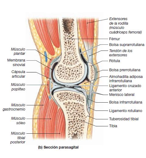 Qu es el s ndrome del m sculo piramidal y cu les son sus - Dolor en la parte interior de la rodilla ...