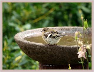Vogel mit Samen an Vogeltränke