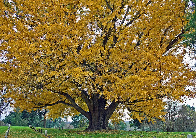 Old Gingko Tree at Vicksburg National Cemetery, Vicksburg, MS