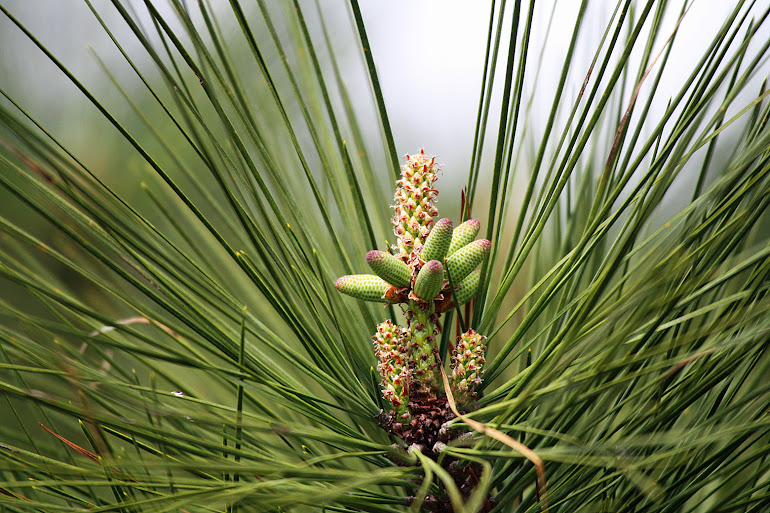 Pine Seed Pod