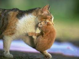 لماذا تحمل القطة أبناءها بفمها من رقبتهم  ؟