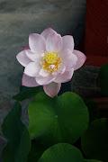 La perfezione dei fiori di loto e le differenti linee