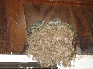 photo of kingbird nest and chicks over doorway