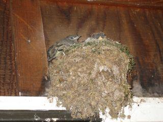 photo of kingbird nest and chicks over doorway