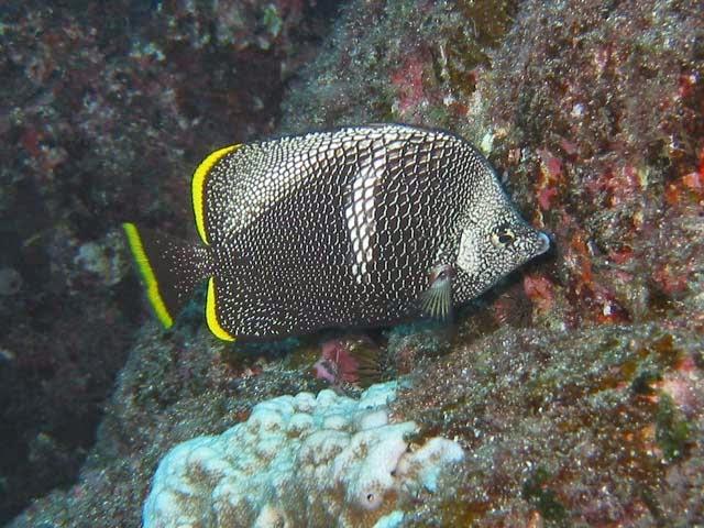 Tu blog de acuariofilia los 10 peces m s caros del mundo - Los peces mas bonitos del mundo ...