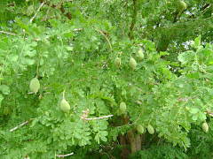 Árvore Frutífera - Mary