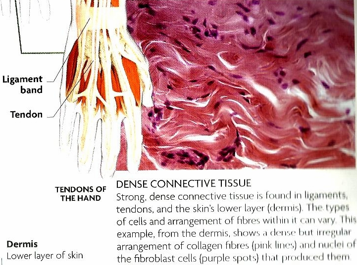 Connective Tissue Examples 49823 Movieweb