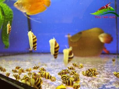 Đặc điểm của ốc Helena - Ốc ăn ốc trong hồ thủy sinh