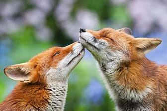 "Countryfile Photographic Competition 2014--""Fox Love"""