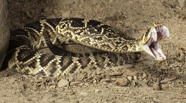 apanih.com 3 Ular Mematikan di Dunia yang Bisa Bikin Kamu Mati rattlesnake