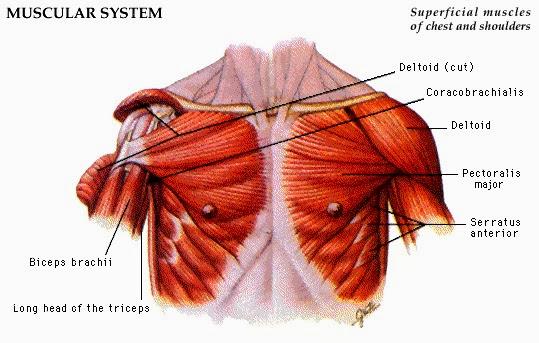 Asuhan Keperawatan Lengkap Otot Bagian Dada