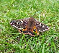 Latest New Macro Moth Species - Emperor Moth