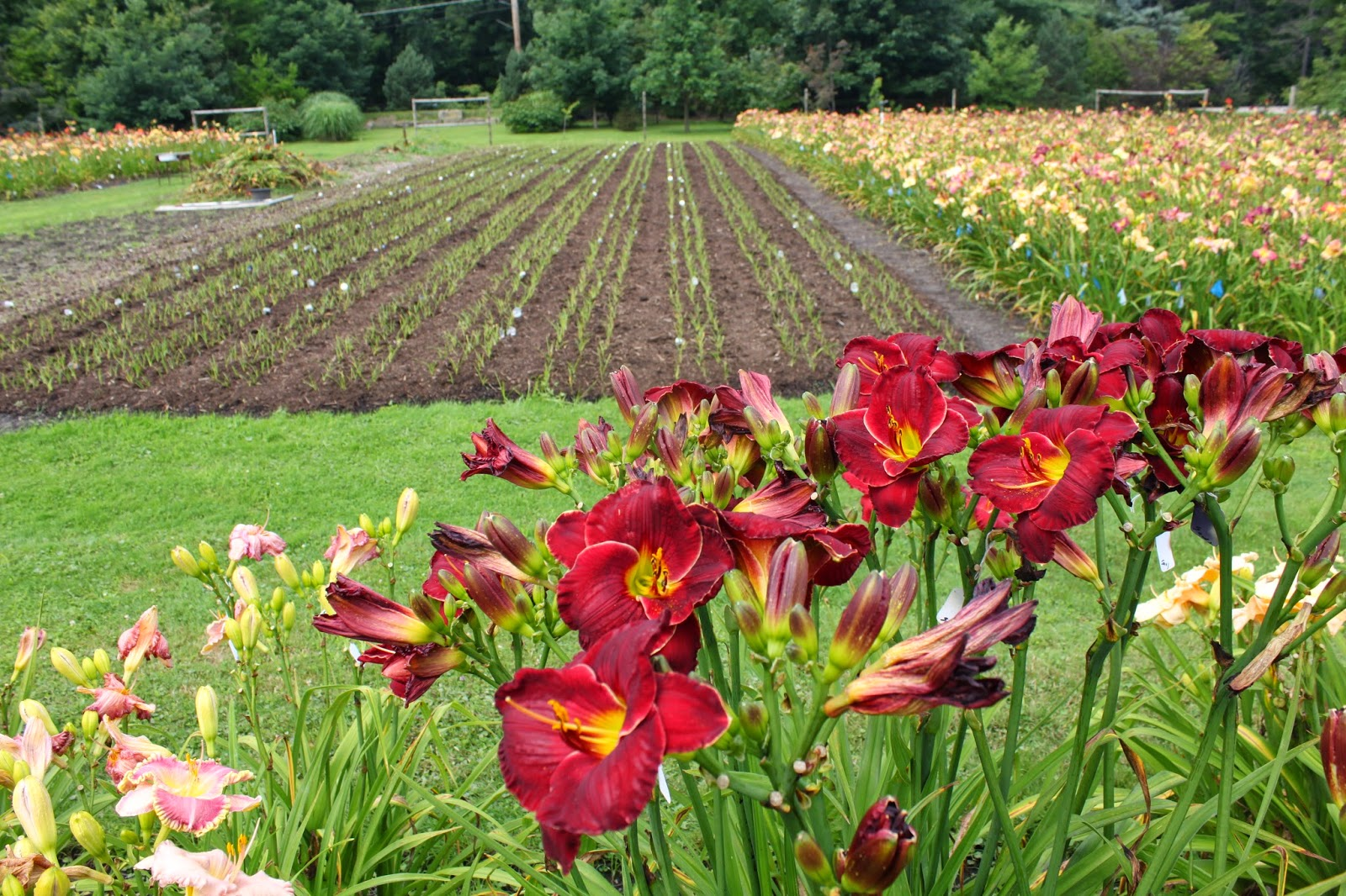 Perfect Crintonic Gardens....The Daylilies Of Curt Hanson. Photos From The Summer  Of 2014