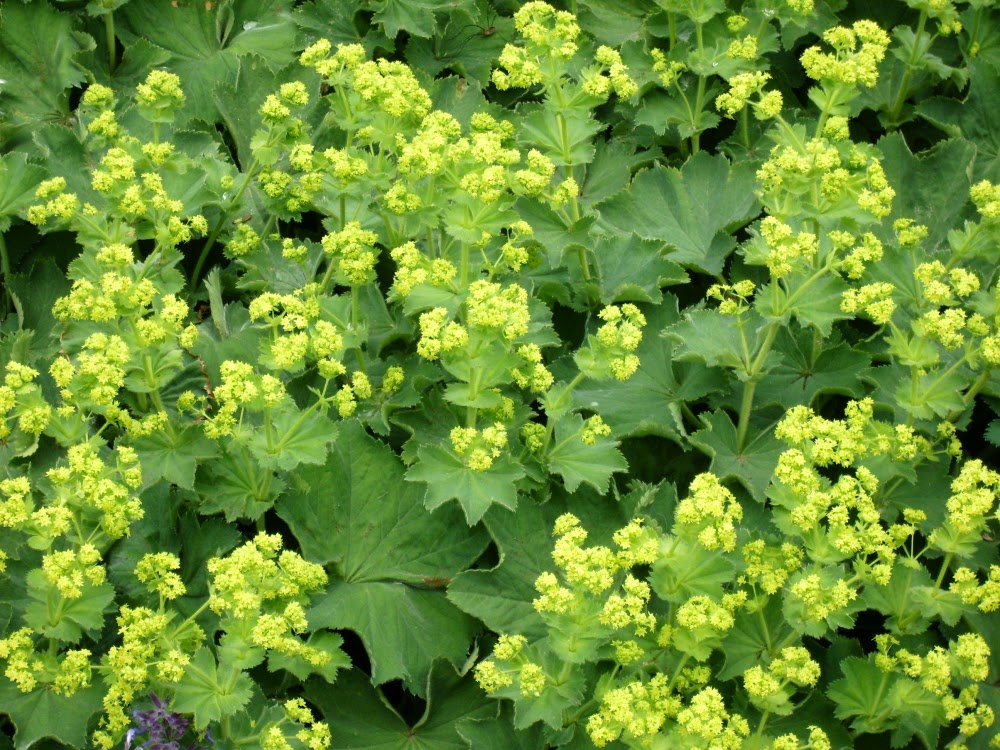 Benefits Of Lady's Mantle (Alchemilla Vulgaris) For Health