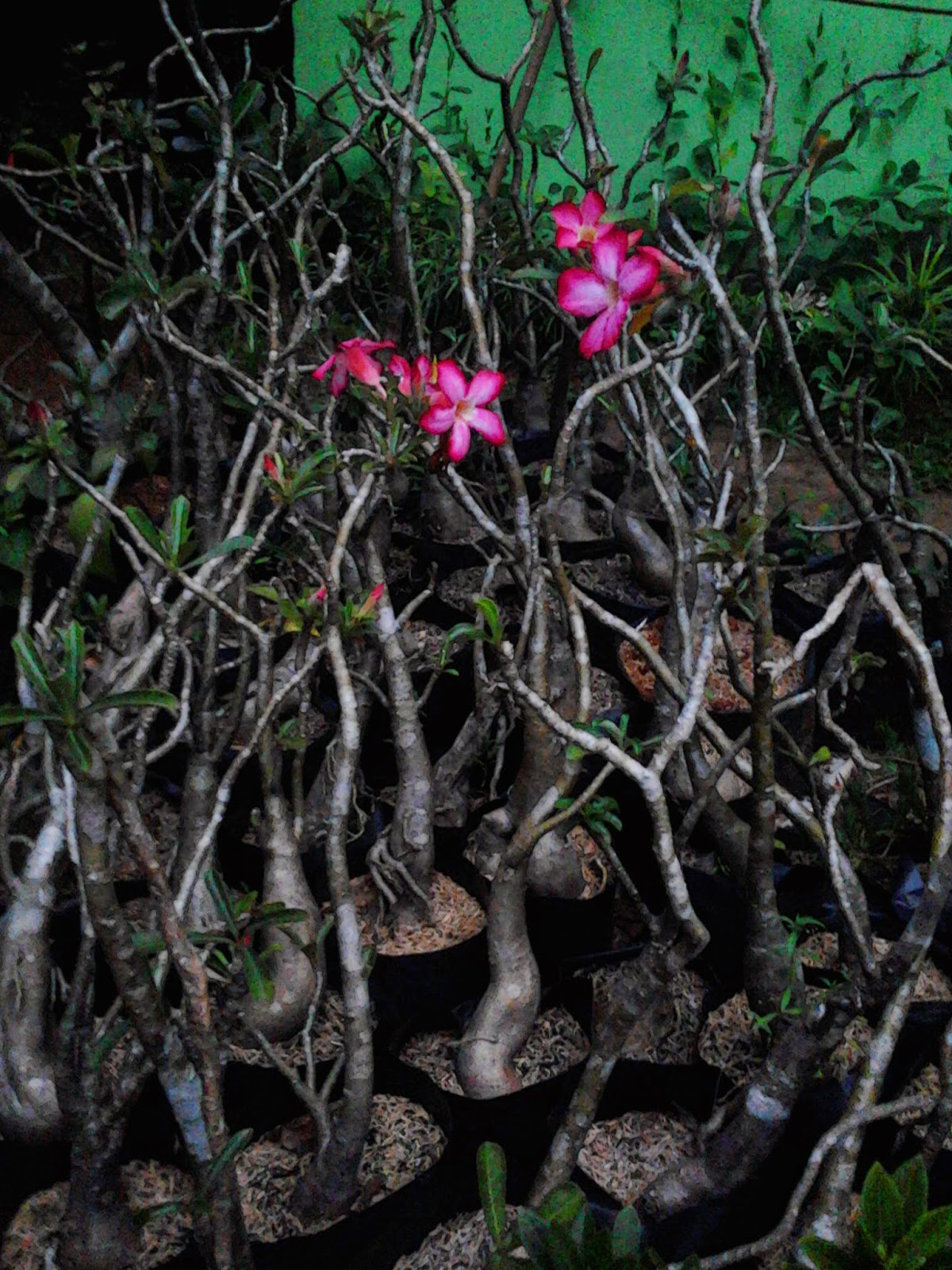 Jual adenium Poseidon | adenium obesum | bunga putih | bunga merah fanta