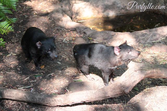 Tasmanian Devil's at the zoo