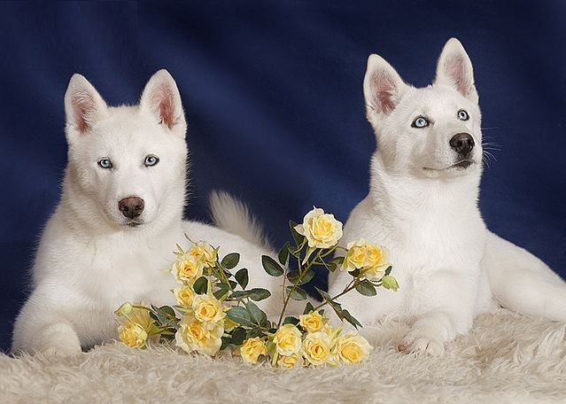Most beautiful dog breed - photo#13