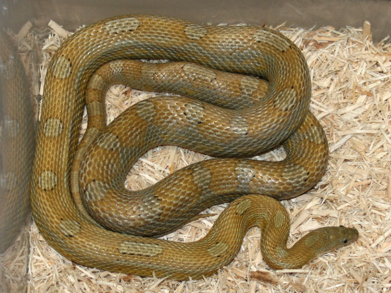 Caramel Motley Corn Snake Caramel Motley Corn Snake