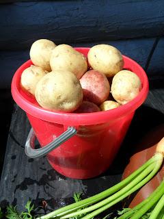 урожай молодого картофеля