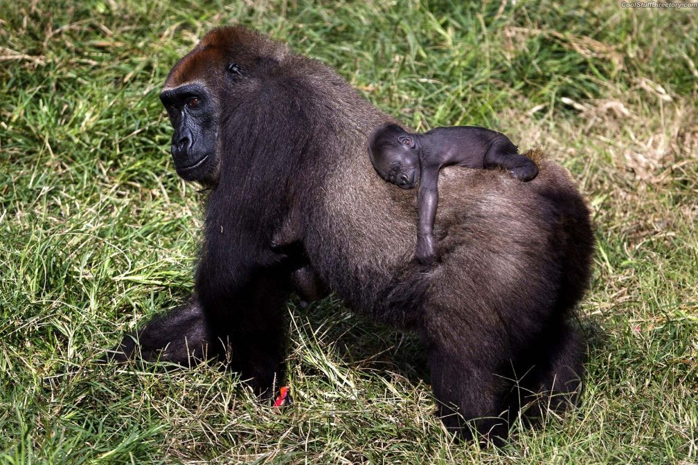 Mother gorilla with a two-week crumbs