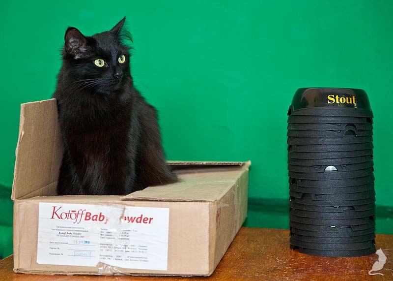 Выставка кошек в Реутове, шоу домусов, домусы, Карина