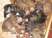 Parker's Boxer Puppies
