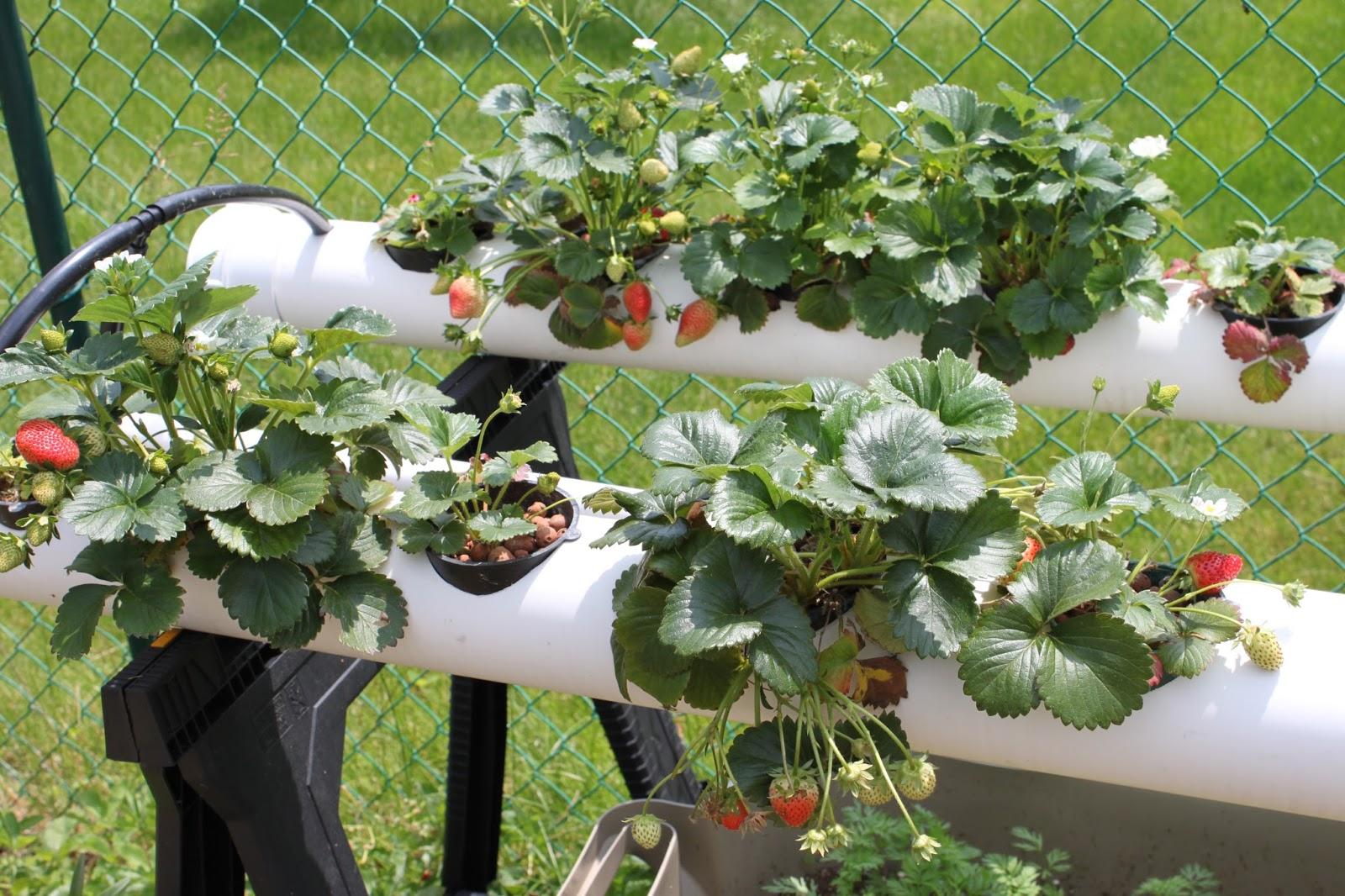 Выращивание клубники круглый год гидропоника 97