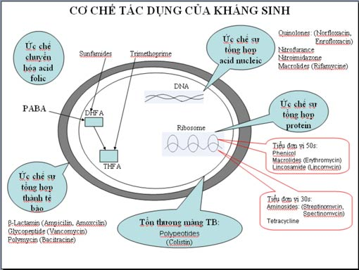 Cơ chế tác động của một số loại kháng sinh đối với vi khuẩn