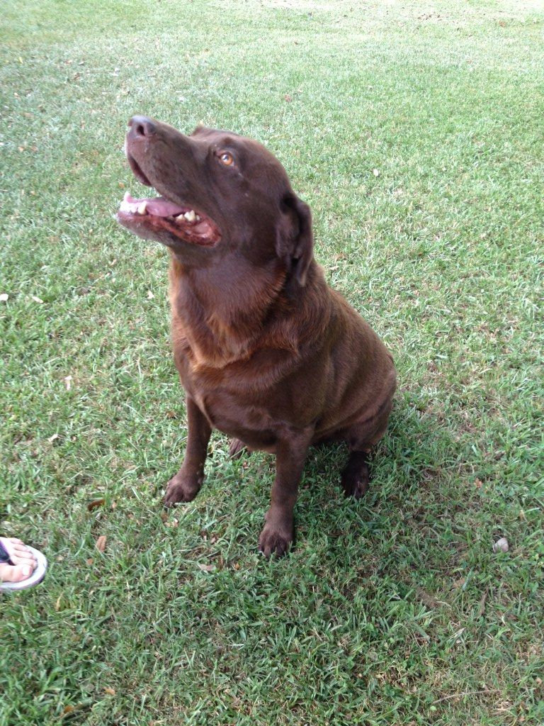 ... : Lafayette, LA - Two beagles, 1 chocolate lab need homes or rescue