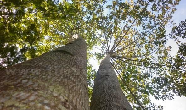 Tips peluang usaha investasi budidaya tanaman pohon kayu jabon yang menguntungkan
