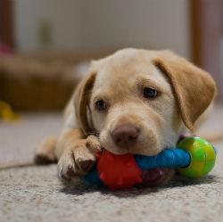 http://4.bp.blogspot.com/-p-vUKziJCJk/UXwyYA6iCQI/AAAAAAAAAlA/R3FI3JE-2Ew/s1600/labrador-retriever-puppy.jpg