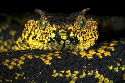 非洲平交道毒蛇