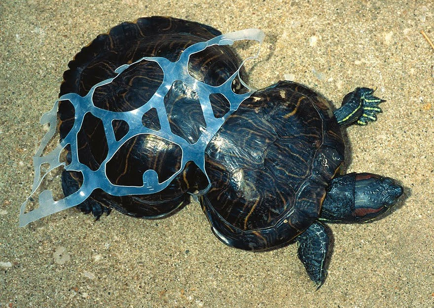 #2 Tortoise Trapped By Plastic - 22 Heartbreaking Photos Of Pollution That Will Inspire You To Recycle