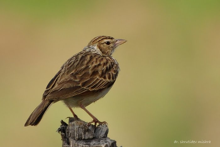Indian Birds Photography: [BirdPhotoIndia] Indian Bushlark