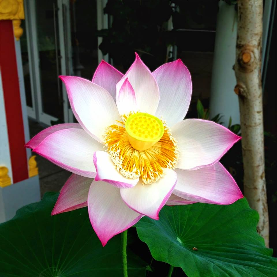 Garden Photo Of The Day Sacred Lotus Flower