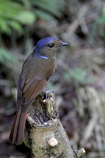 Large Niltava -female