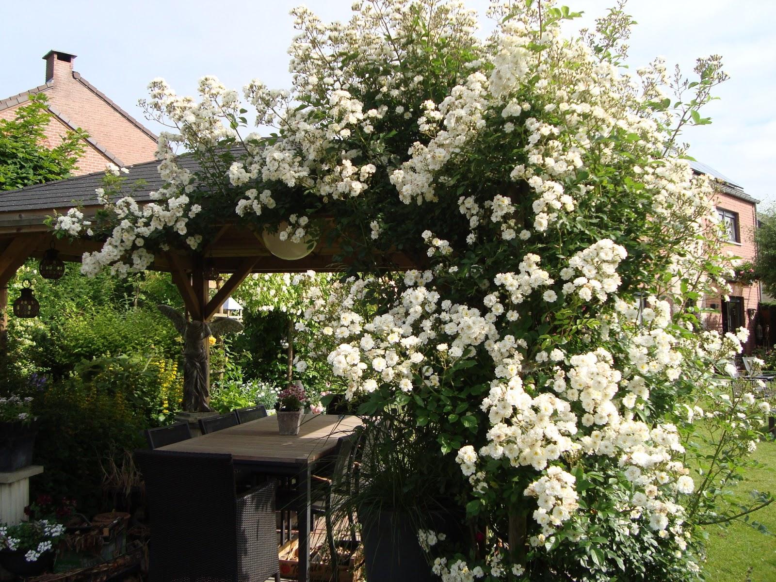 passionn ment jardin une rose un rosier guirlande d 39 amour. Black Bedroom Furniture Sets. Home Design Ideas