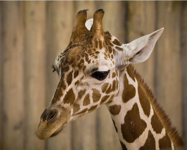 sad giraffe أجمل صور الزرافة    Photo Giraffes
