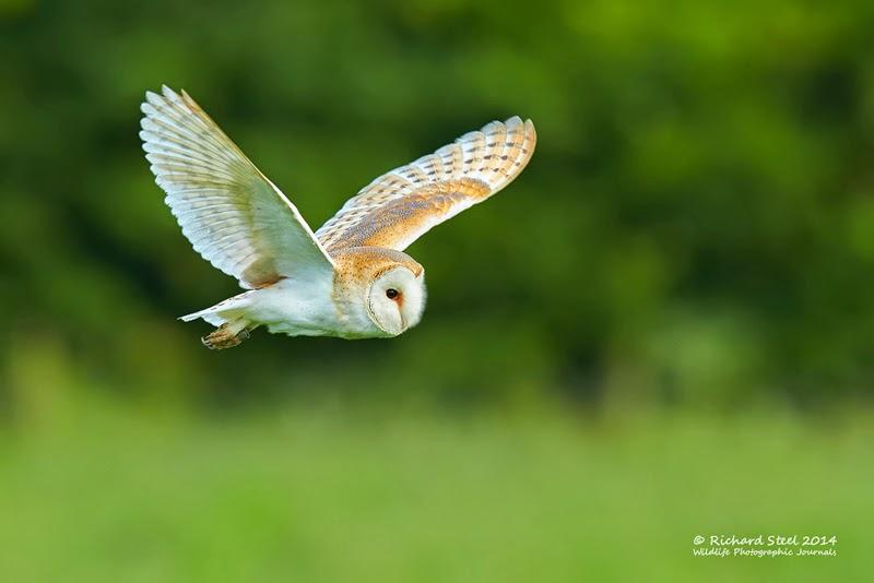 Wildlife Photographic Journals: Summer Owls