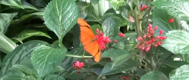 Dryas Iulia Julia Butterfly , Julia Heliconian Flame Schmetterling