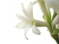 Health Benefits of Tuberose Flower