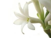 Health Benefits of Tuberose Flower