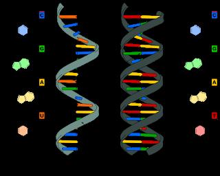 Pengertian DNA dan RNA Beserta Fungsinya