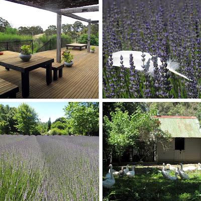 Lavandula swiss italian lavender farm victoria australia travel adventure