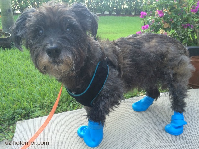 Oz the Terrier models Jelly Wellies Rain Boots for Dogs