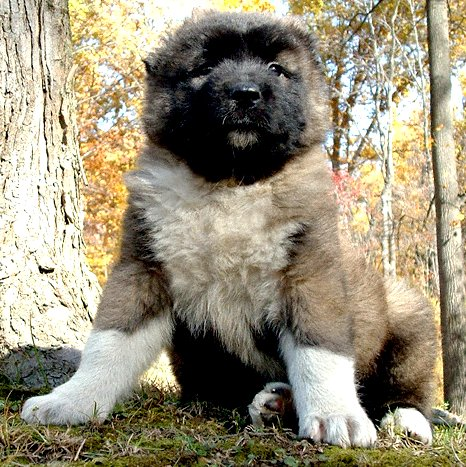 Mountain dog puppies