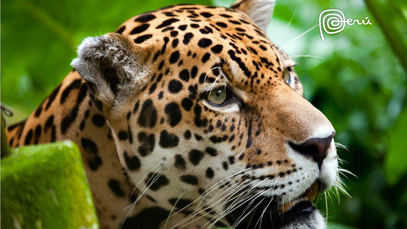 http://4.bp.blogspot.com/-p22dXXSVPa4/UFchjlNUDiI/AAAAAAAAGk8/BaLhagaIHoE/s1600/jaguar_the_big_cat-1366x768.jpg